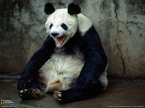 panda china kunming china panda yawning photo of the day picture