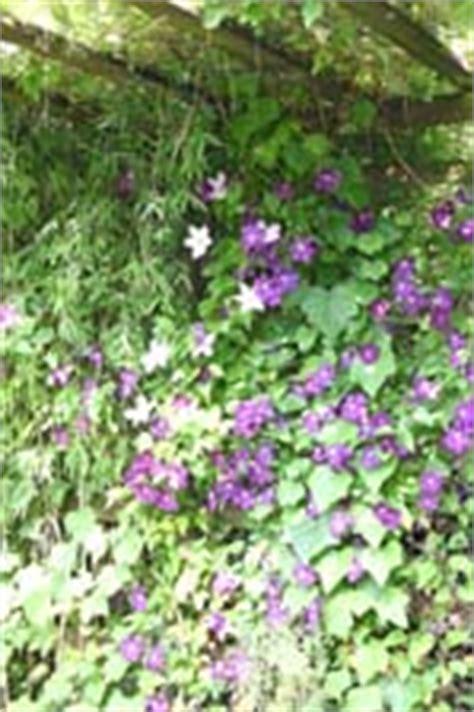 kletterpflanze schattig winterhart kletterpflanzen rankpflanzen schlinger als sichtschutz