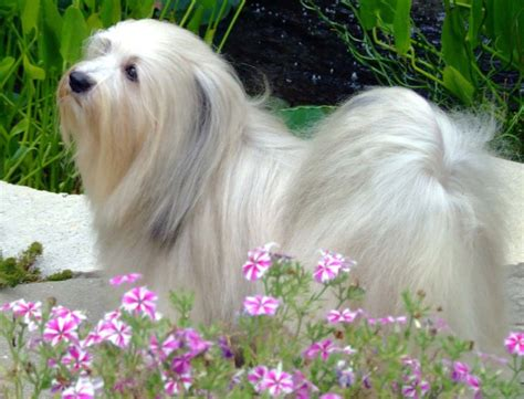 all about havanese havanese breeders all about havanese breeders page 2