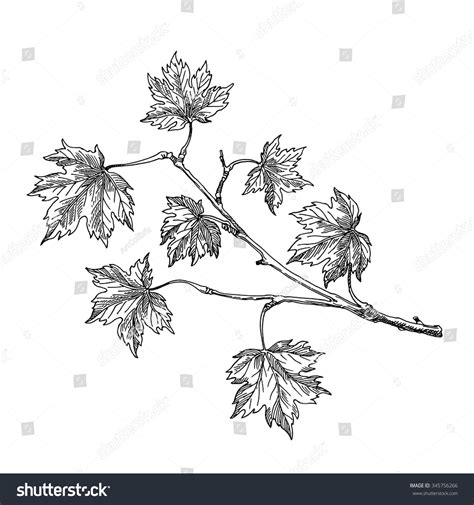 maple tree drawing maple leaf maple branch pencil and in color maple leaf maple branch