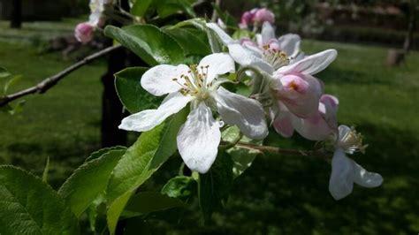 fiori melo oltre 1000 idee su fiori di melo su fiori