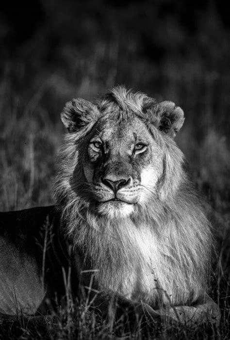 Le Roi Lion - Photo et Tableau - Editions Limitées - Achat