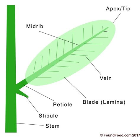 diagram of a leaf simple leaf diagram www pixshark images galleries