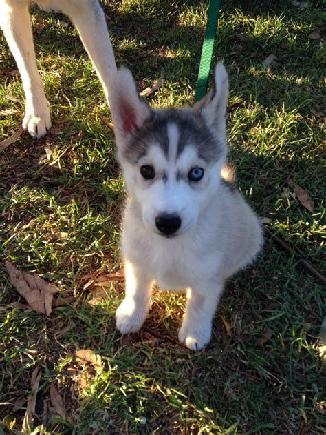 Husky Shedding Tips by Husky Grooming Tips Or Surviving Without Drowning