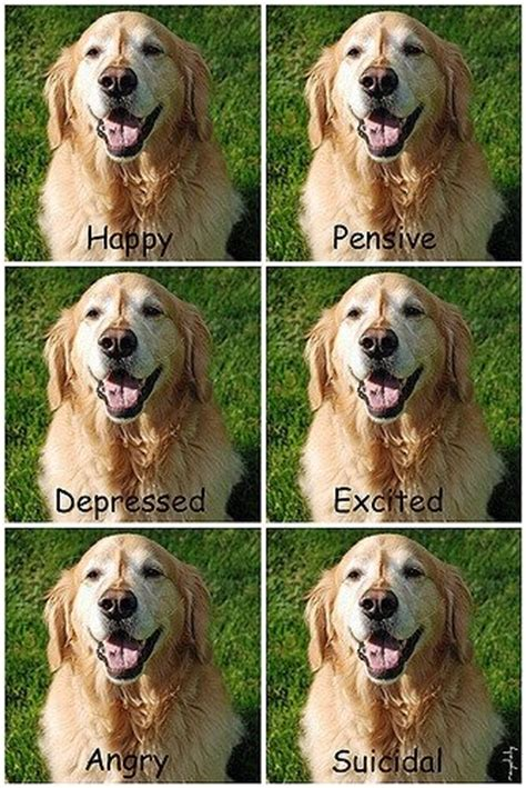 difference between labradors and golden retrievers golden retriever labrador difference assistedlivingcares