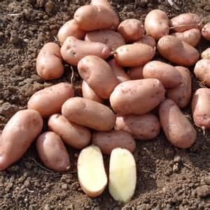 pomme de terre jeannette la bonne graine