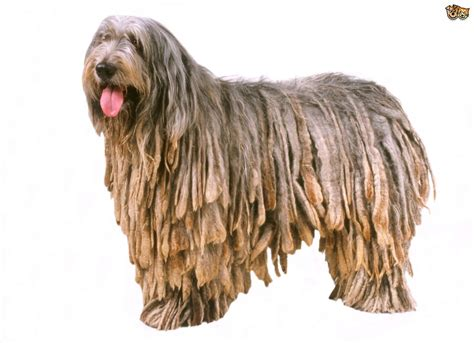 bergamasco puppies bergamasco breed information buying advice photos and facts pets4homes