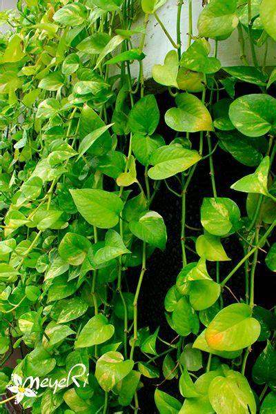 Pohon Tanaman Sirih Gading Centong epipremnum aureum box of and
