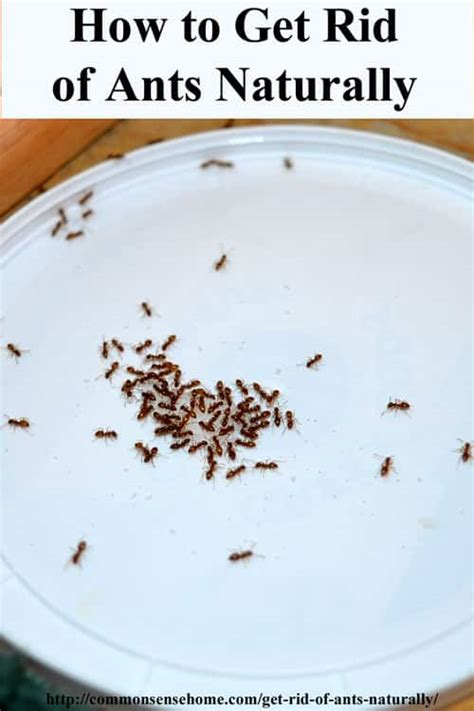 How To Get Rid Of Ants In The Bathroom by How To Get Rid Of Ants Naturally Why You Should Protect