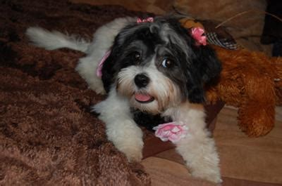 maltese shih tzu puppies for sale in michigan shih tzu maltese puppies for sale in michigan