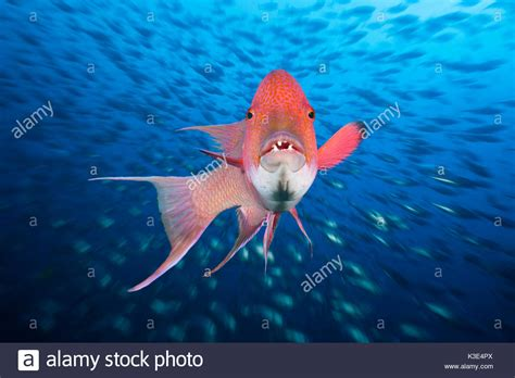 hogfish images bodianus stock photos bodianus stock images alamy