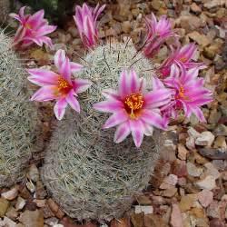 Shrub With Pink Flowers - mammillaria grahamii graham s cactus pincushion cactus arizona fishhook