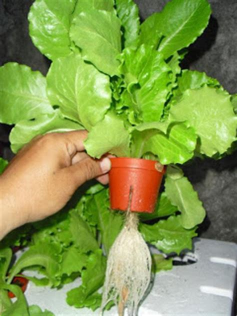 Benih Bayam Dan Kangkung sayuran bayam cara menanam dan teknik budidaya tanaman