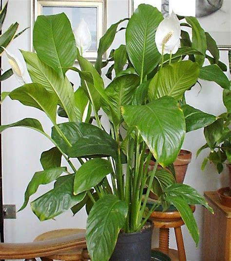 pianta di appartamento piante di appartamento piante appartamento piante