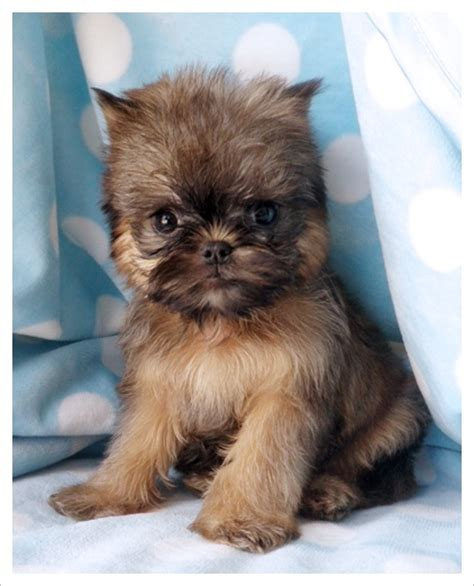 brussels griffon puppy best 25 brussels griffon puppies ideas on brussels griffon angry puppy