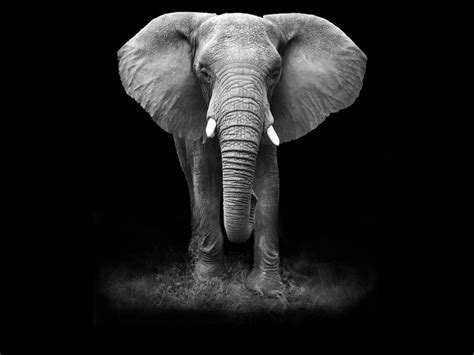 wallpaper elephant black white where does the phrase going rogue come from merriam