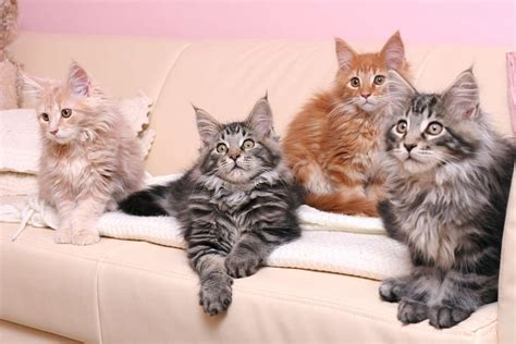 Colors Cat the maine coon cat cat breeds encyclopedia