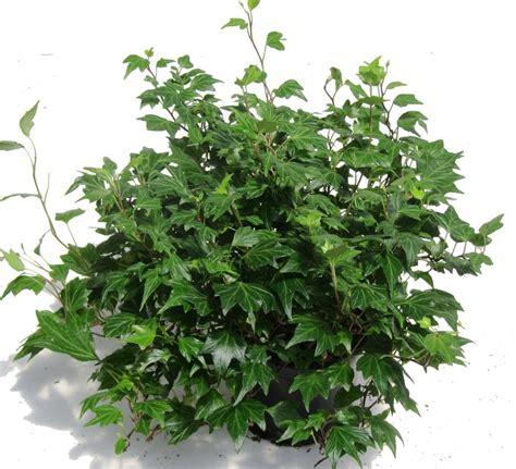 ist efeu winterhart hedera helix efeu pflanzen versand f 252 r die