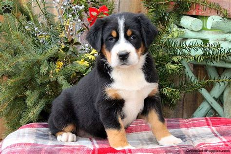 greenfield puppies review top 401 reviews and complaints about greenfield puppies