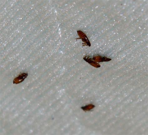 cat fleas vs fleas cat fleas vs fleas
