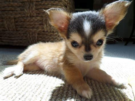 My Chihuahua Fidel Sun by My Beautiful Koko In The Sun So Precious Adorable