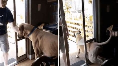 Dog Door For Sliding Glass Door Full Grown Great Dane Insists On Exiting Through Tiny Dog
