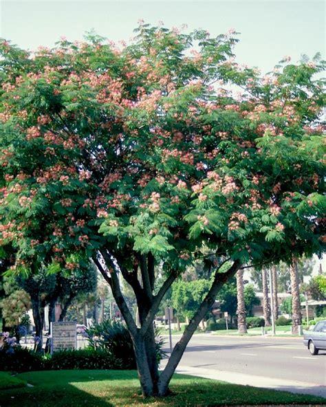 albizia julibrissin van den berk boomkwekerijen