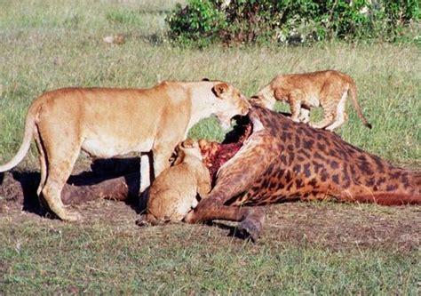 imagenes de leones cazando jirafas caracter 237 sticas de las jirafas