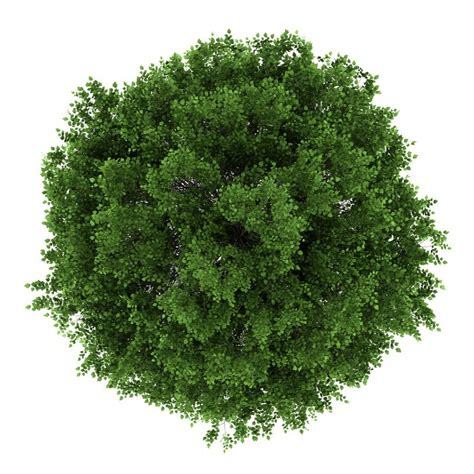 top view of small leaved lime tree isolated on white