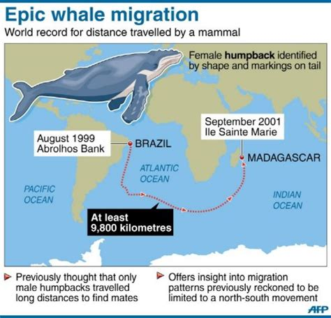 migration pattern of blue whale humpback whale beats long distance record