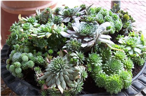 succulents pots for sale seedlings india cactus succulents online buy cactus