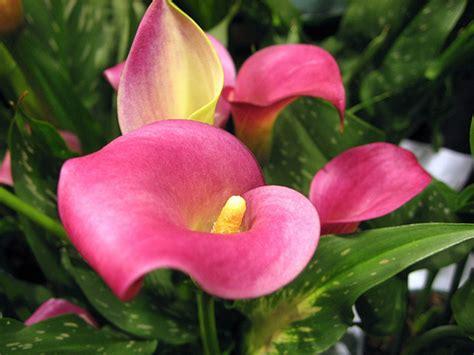 zantedeschia rehmannii 海芋花 flickr photo sharing