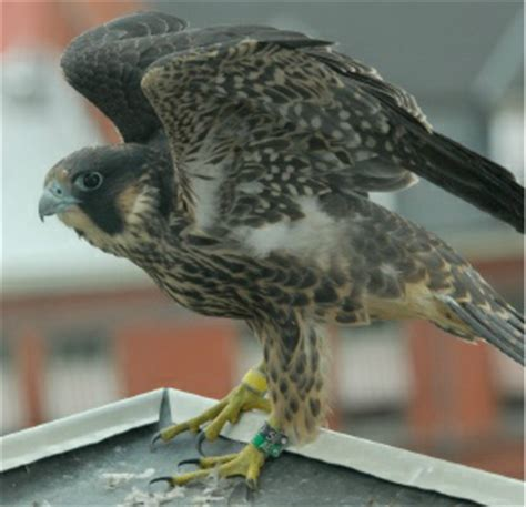 eagle cam not enough harrisburg s falcon cam now ready to
