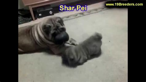 shar pei puppies for sale craigslist shar pei puppies dogs for sale in louisville kentucky ky 19breeders bowling