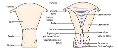 narrow pelvis c section easy notes on uterus learn in just 4 minutes