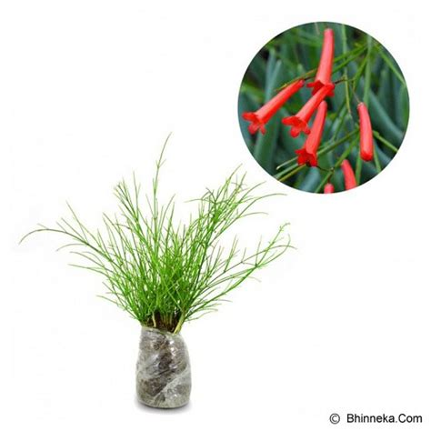 Kebun Bibit Tanaman Pandorea Diskon jual kebun bibit tanaman air mancur merah murah bhinneka
