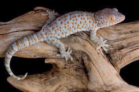low maintenance pets geckos fun animals wiki videos