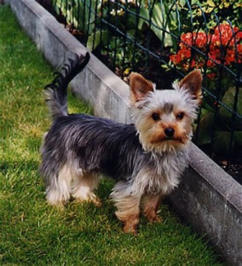 why do yorkies do yorkies curly tails do yorkies curly tails how to visually determine