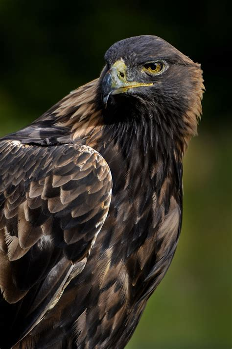golden eagle light covers eagle live wallpaper page 8 wallpaper ideas