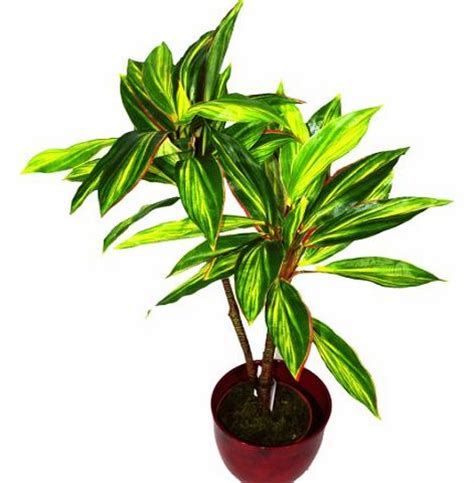 buy large house plants online compare prices of flowers and plants read flowers and plant reviews buy online
