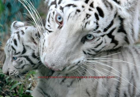 white tiger pictures beautiful wallpapers white bengal tiger pictures