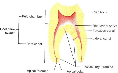 root canal diagram root canal diagram 28 images endodontic root canal
