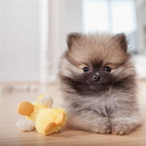 pomeranian facts 10 interesting facts about pomeranian many