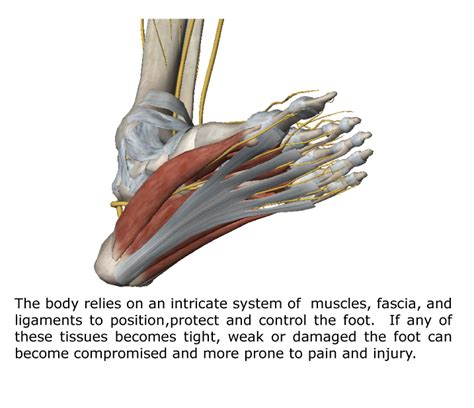 The Foot Intrinsic Muscles and Their Role in Foot Pain ... Foot Arch Muscles
