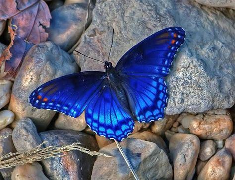 imagenes de mariposas para wasap butterflies nymphalidae