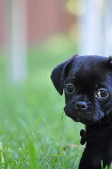 black pug cross 17 best images about pugs on to be posts and puppys