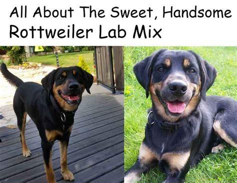 lab rottweiler mix temperament best 25 rottweiler lab mixes ideas on rottweiler lab mix puppy