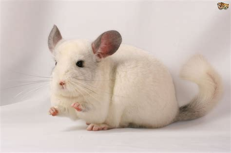 Homes In The Mountains ten interesting facts about chinchillas pets4homes