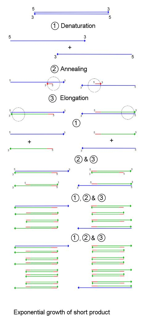 how much template dna for pcr 6 4e coupling specific genes to specific organisms using