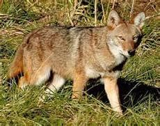 are coyotes color blind animals deciduous forest